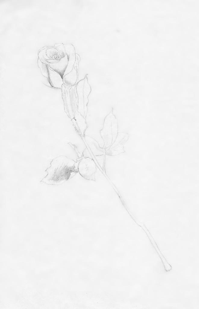 Rose Draft